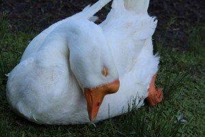 宝ヶ池のガチョウ雪雄のうたた寝