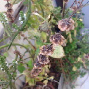 えごまの花とバジルの実