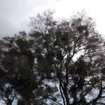 宿木(やどりぎ)