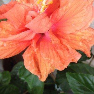 八重咲きハイビスカス2015 開花