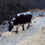 ランタンの山道を歩く牛