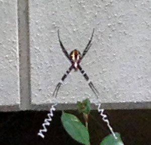 新体操風の蜘蛛