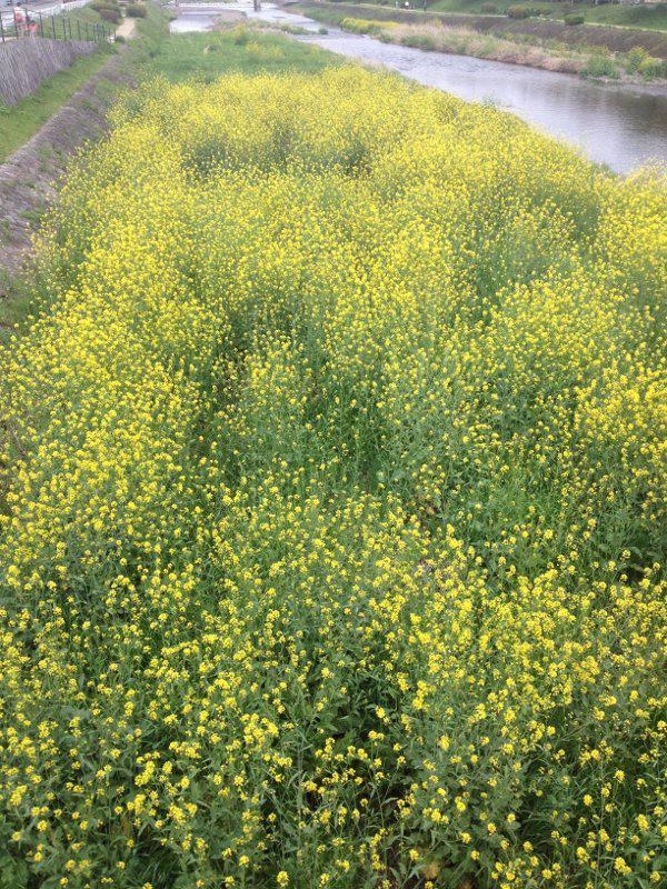 賀茂川の菜の花