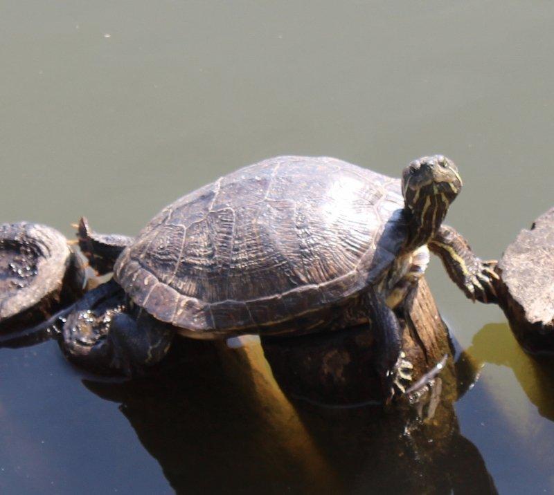 宝ヶ池の亀