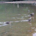 宝ヶ池 鴨