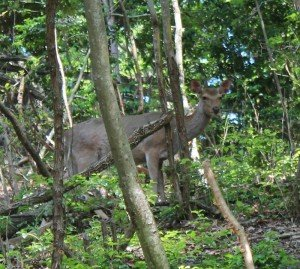 宝ヶ池の鹿