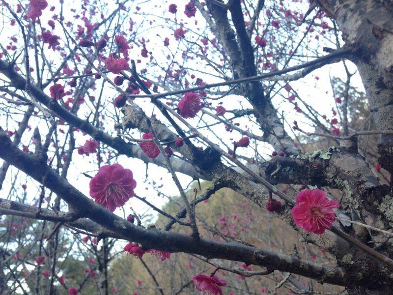 梅林園の梅