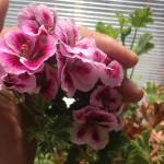 ゼラニウムの花