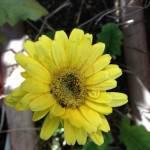 ガーベラ(黄色)