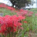 滋賀県の彼岸花群生地