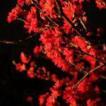 菊桃(キクモモ)の花