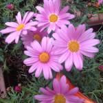マーガレットも開花