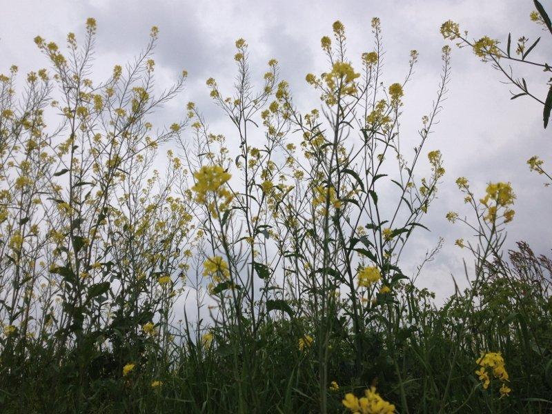 桂川の菜の花