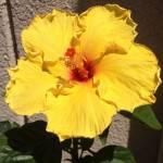 ハイビスカスサマーブリーズ 越冬後第一開花