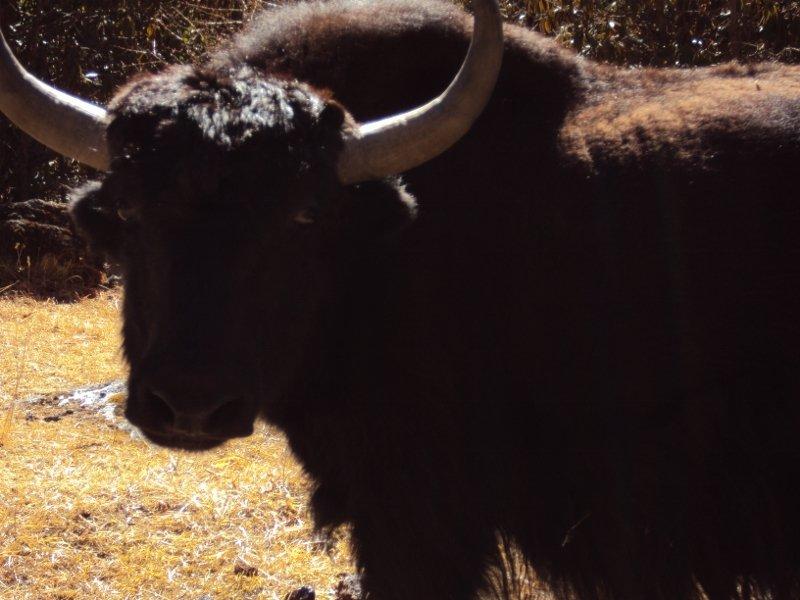 ネパール ランタン 村にいた牛
