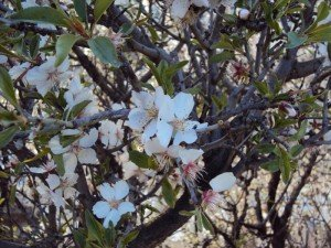 エルサレムの桜
