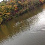 宝ヶ池公園 鴨