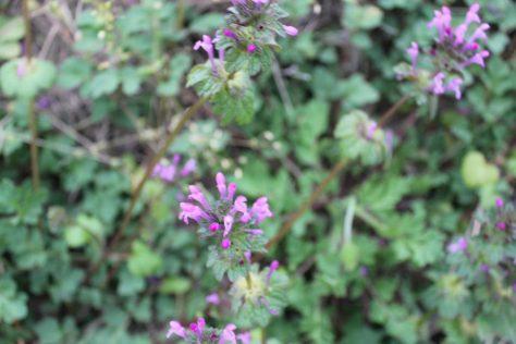 ホトケノザ(仏の座)三階草の花2