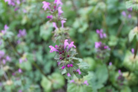 ホトケノザ(仏の座)三階草の花