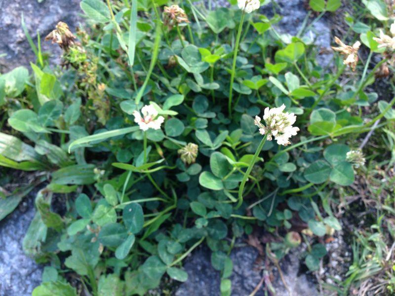 クローバーの花の形状