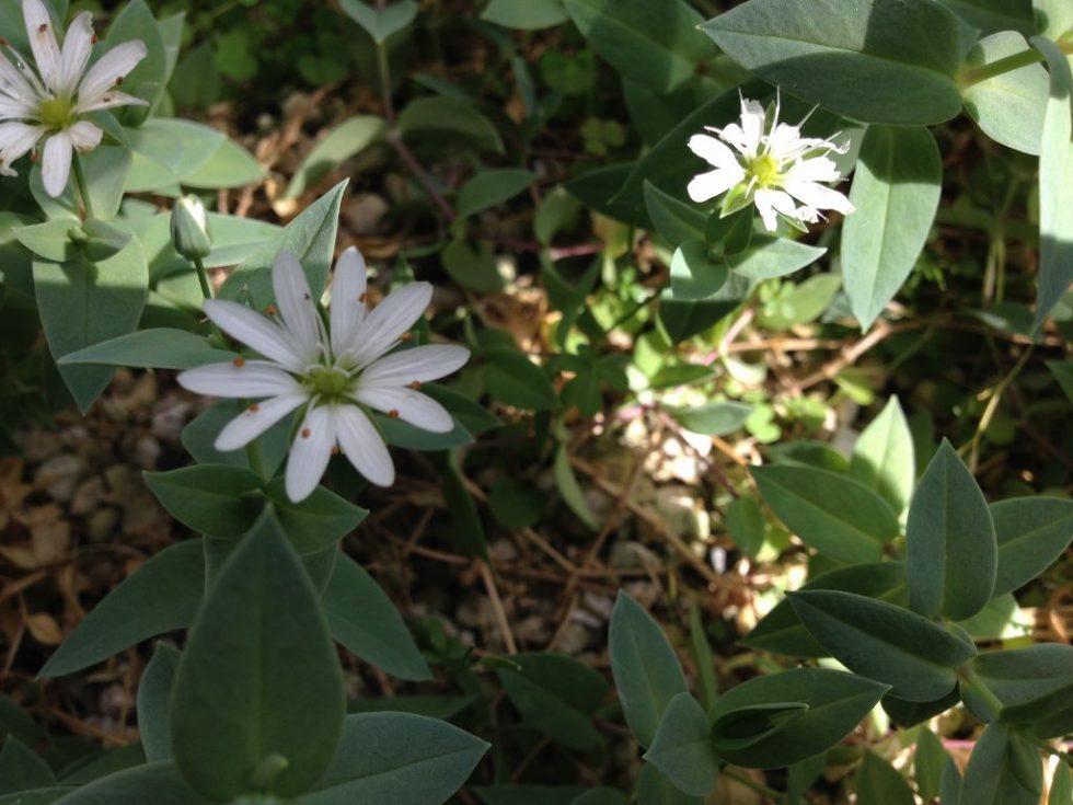 シコタンハコベの花