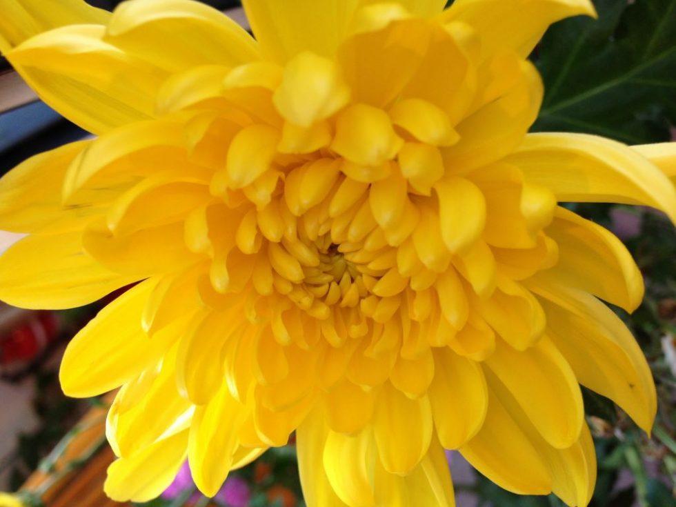 菊 キク 黄色