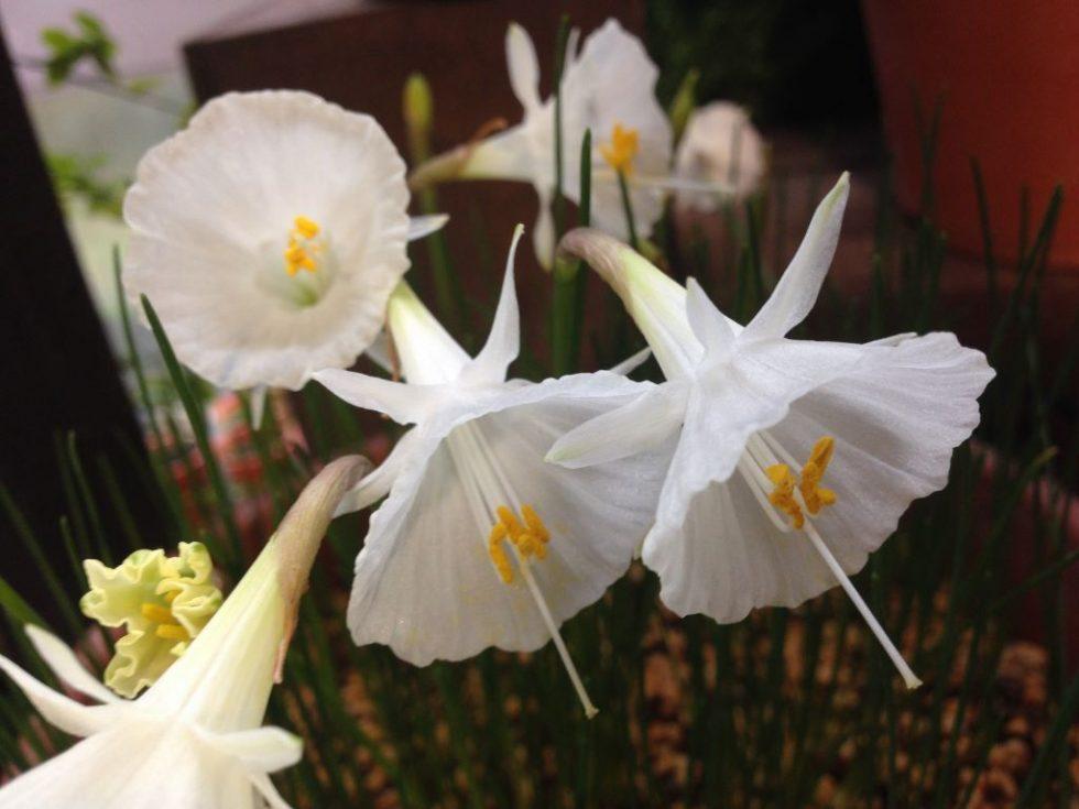 ナルキッスス・バルボコディウム 花弁