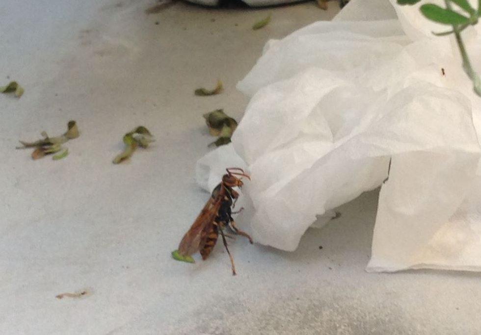 ティッシュの方に移動するアシナガバチ