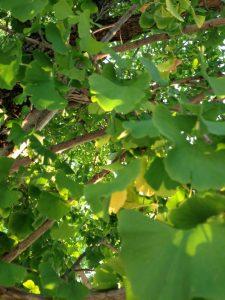 イチョウ(緑)