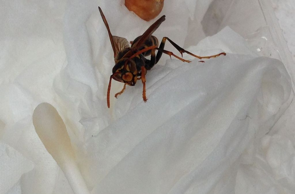 アシナガバチ(正面から)