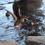鴨川の鴨(飛行中)