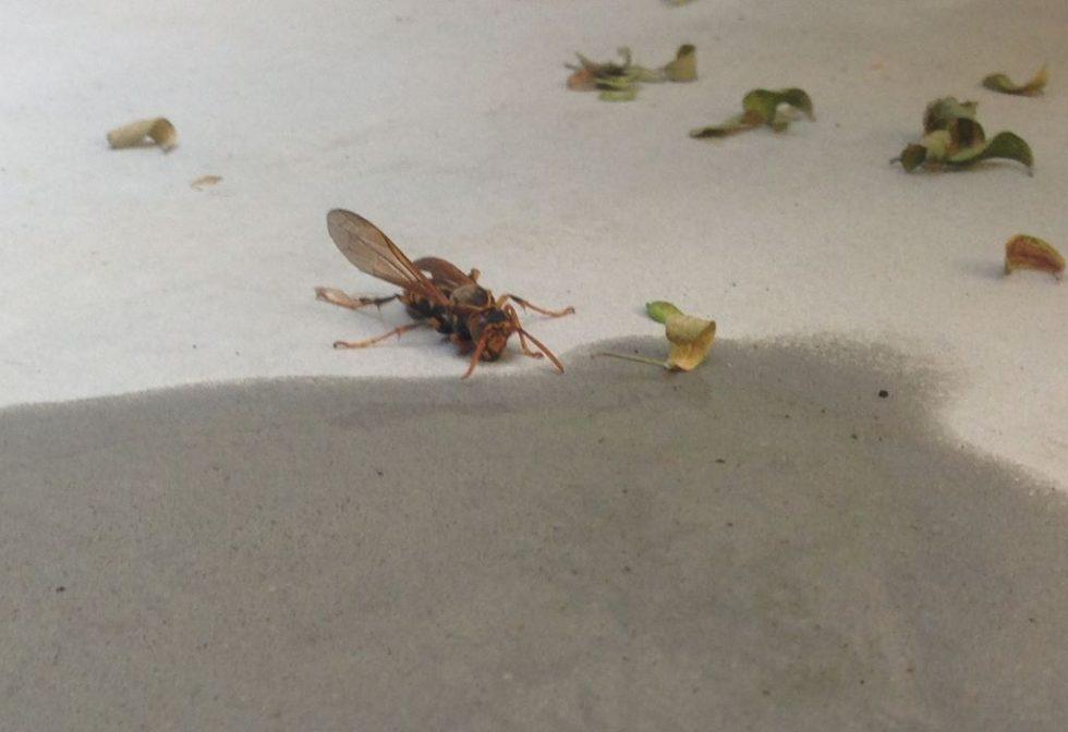 触角で確認中のアシナガバチ