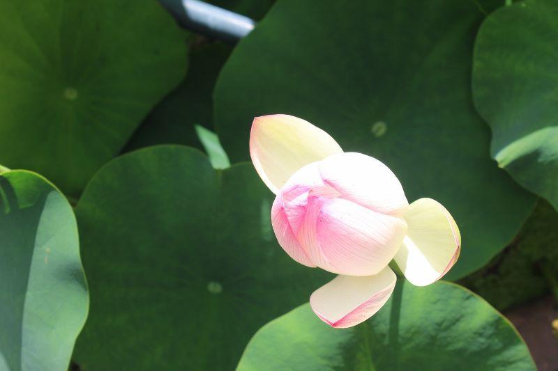 蓮の花(三室戸寺にて)