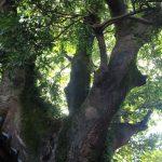 ホルトの樹