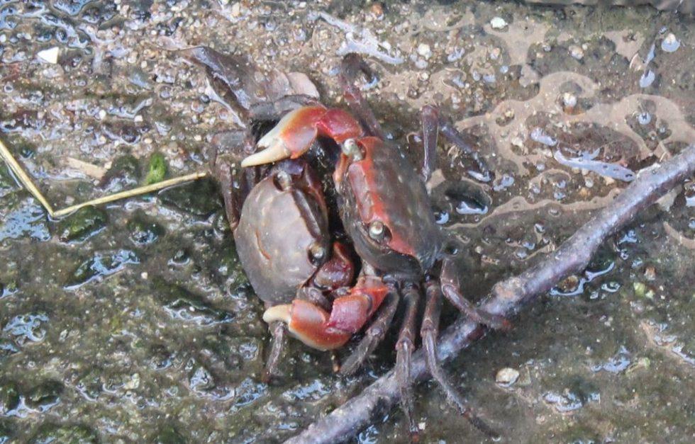 愛し合う沢蟹