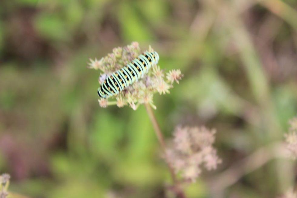 キアゲハ幼虫3