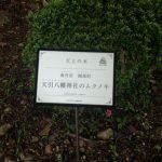 南丹市園部町 天引八幡神社のムクノキ