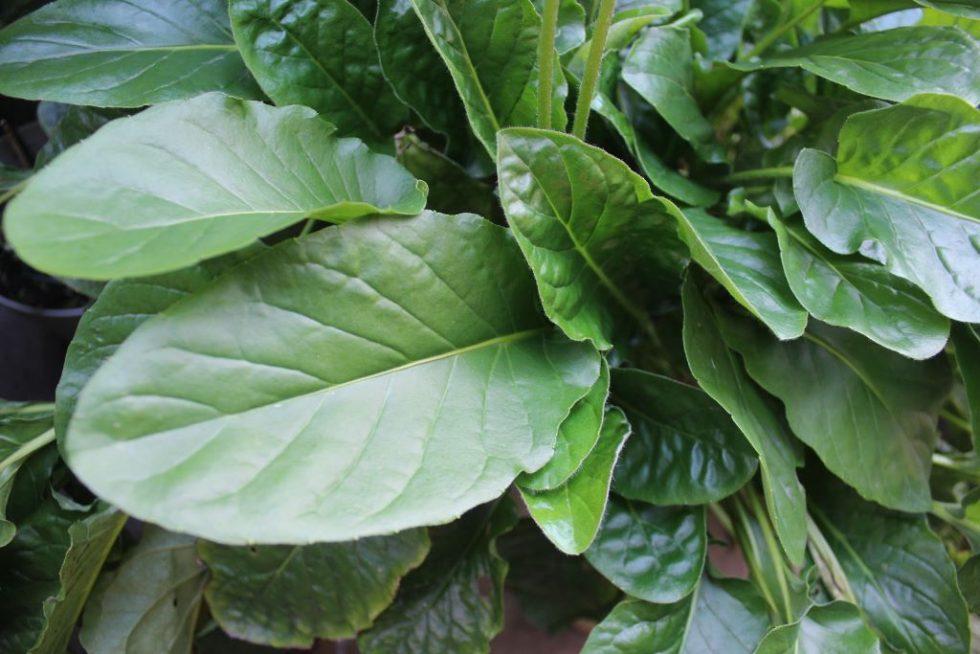 ガーベラの葉