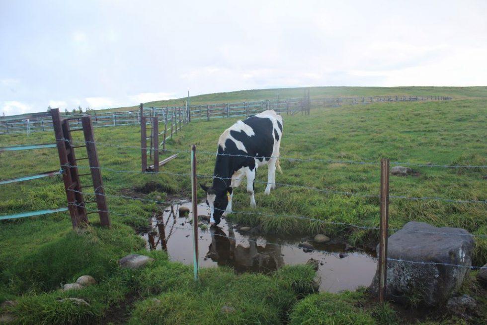 美ヶ原の牛「25番」水を飲む