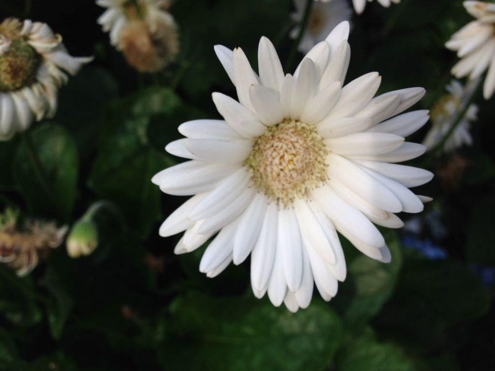 ガーベラ(白)