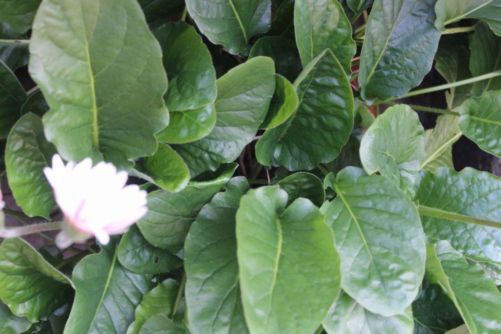 ガーベラの葉 全体