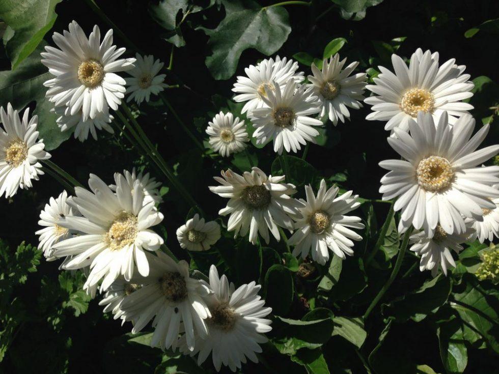 咲き乱れる白のガーベラ