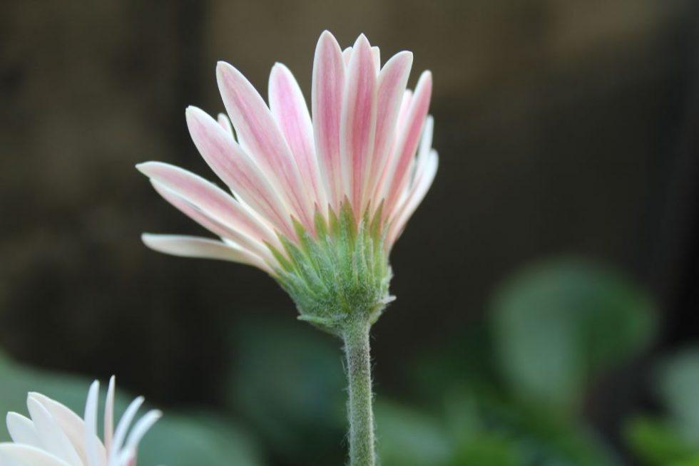 白ガーベラの花の裏側