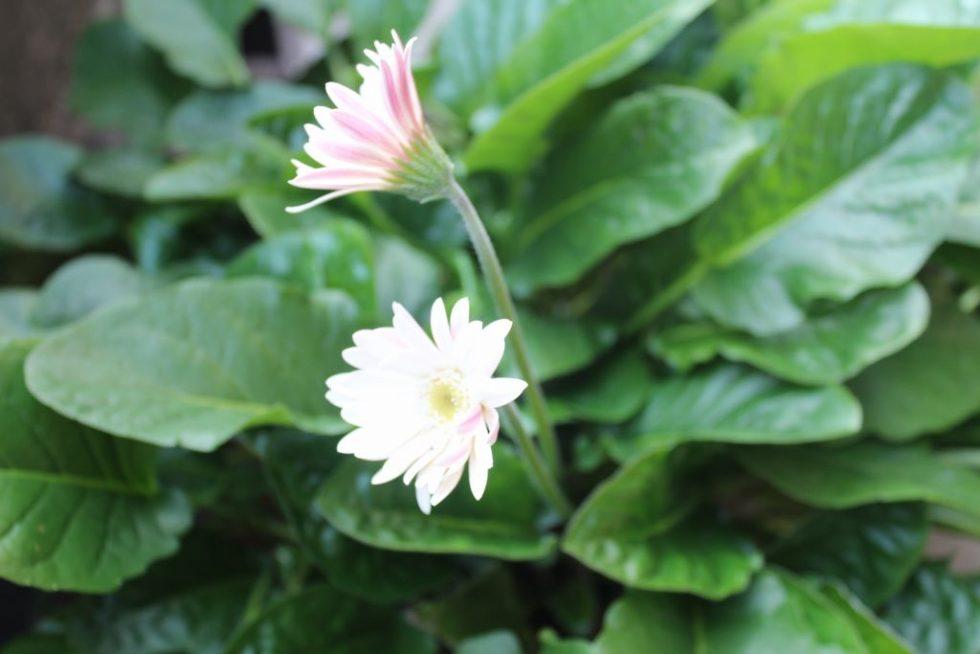 真冬に開花した白のガーベラ