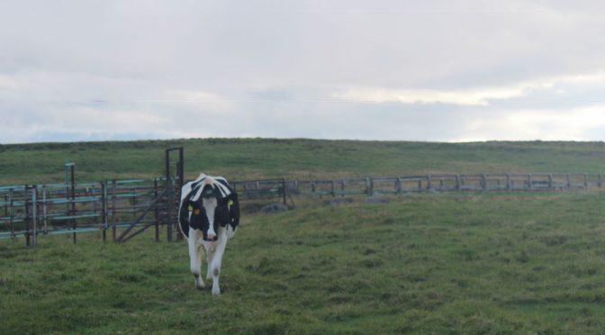 美ヶ原の牛「25番」