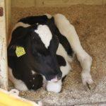 仔牛の乳牛
