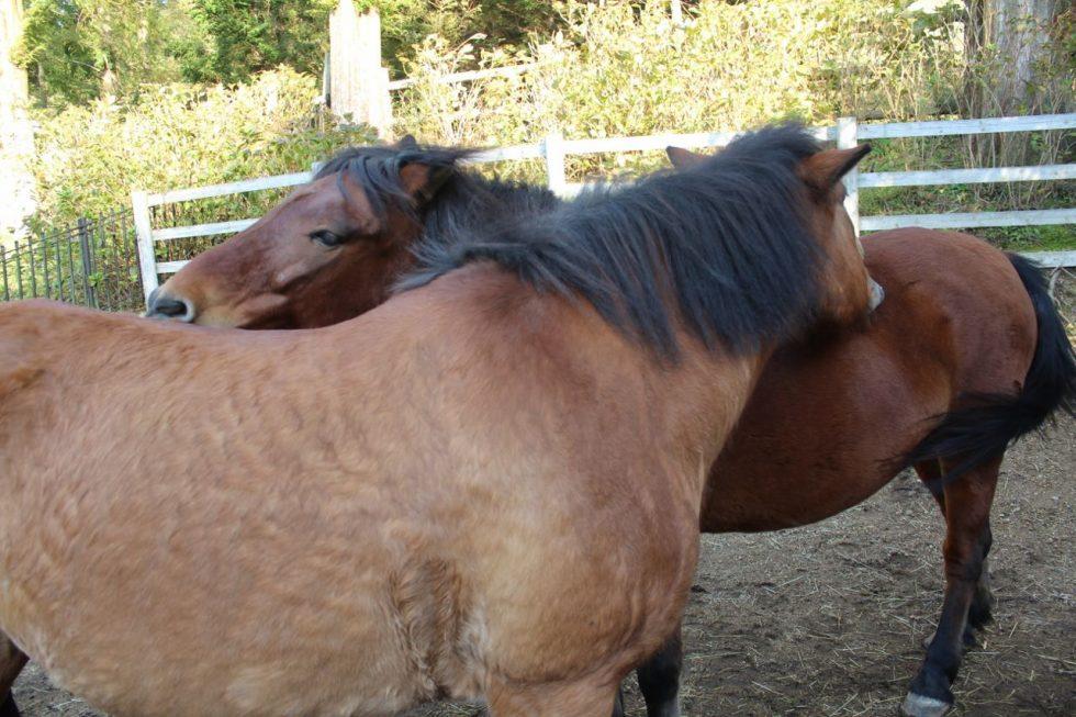 馬の相互扶助精神 木曽馬
