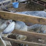 ミミナガ 山羊
