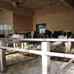 六甲山牧場の乳牛たち