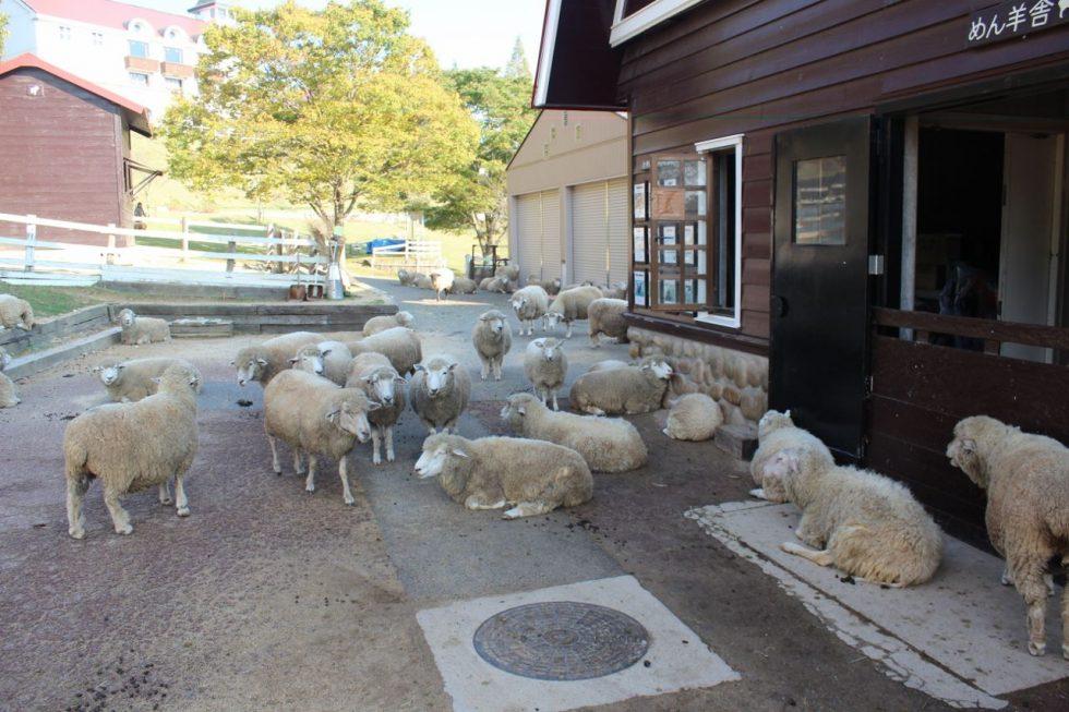 六甲山牧場 羊たち